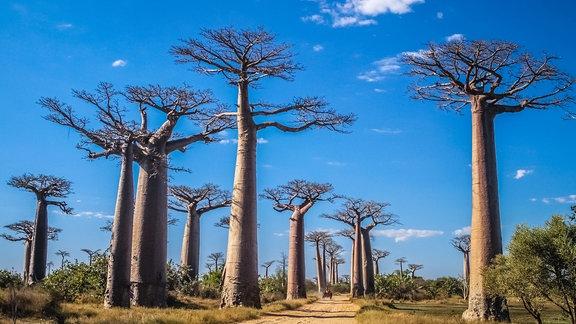 Eine Straße gesäumt von riesigen Baobab-Bäumen.