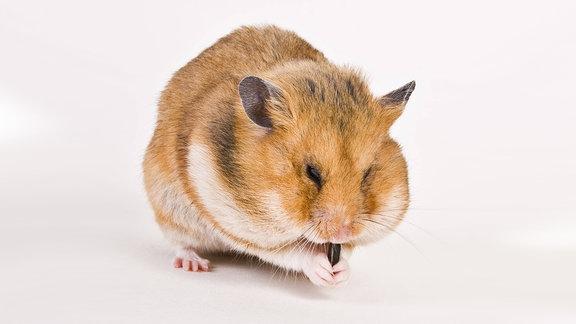 Dicker Hamster