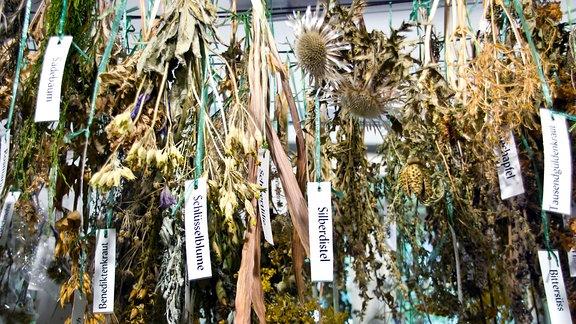 Kräuter hängen zum Trocknen