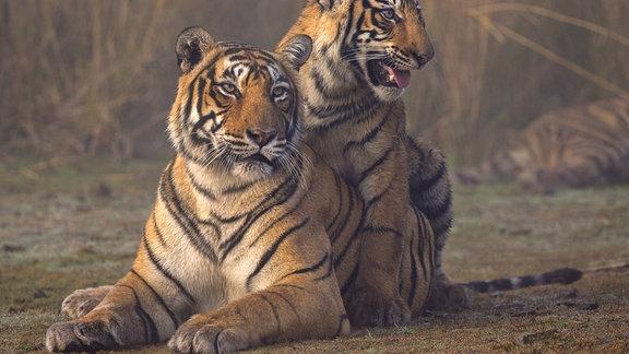 Zwei Tiger während der Fortpflanzung.